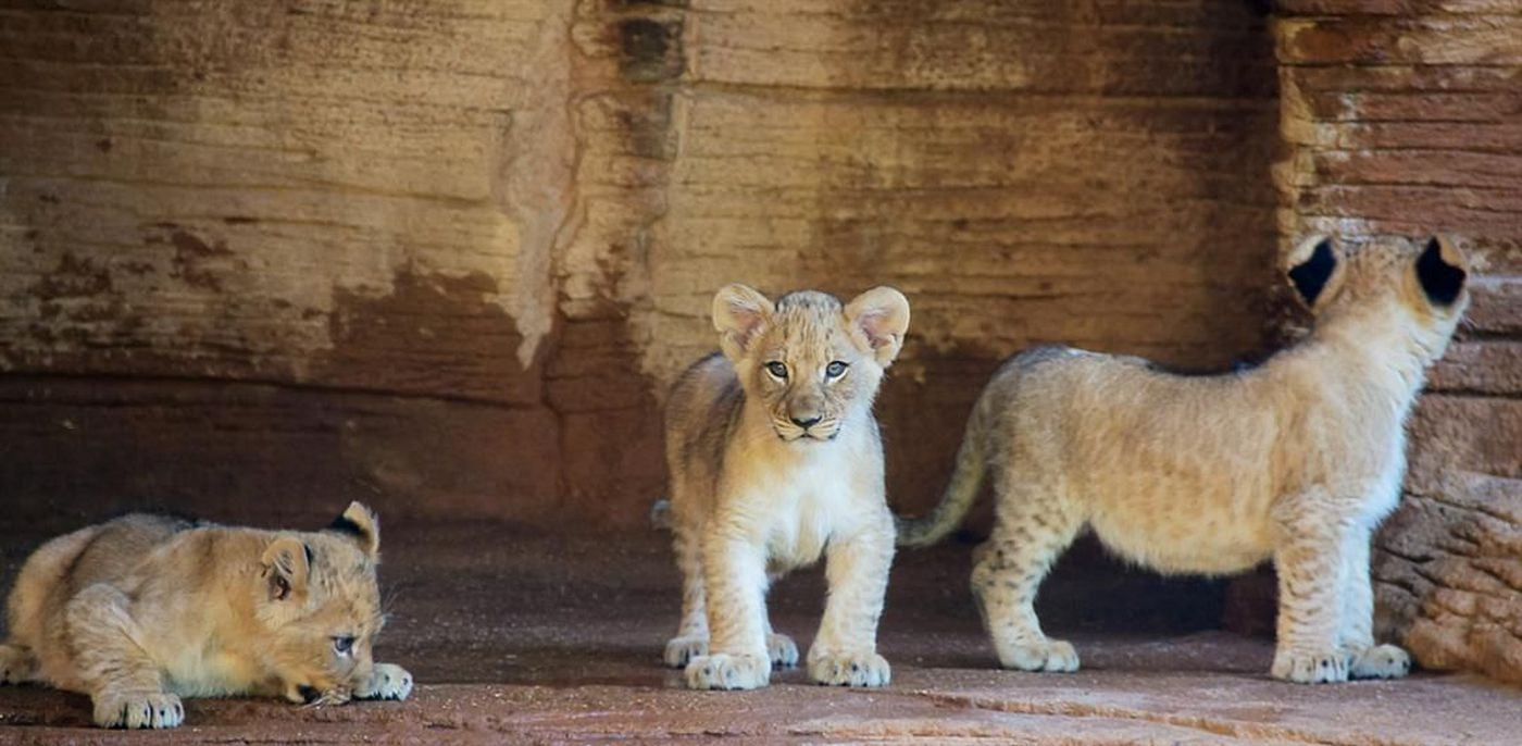 The lion cubs three: Meet the newest sisters and princesses of the ...