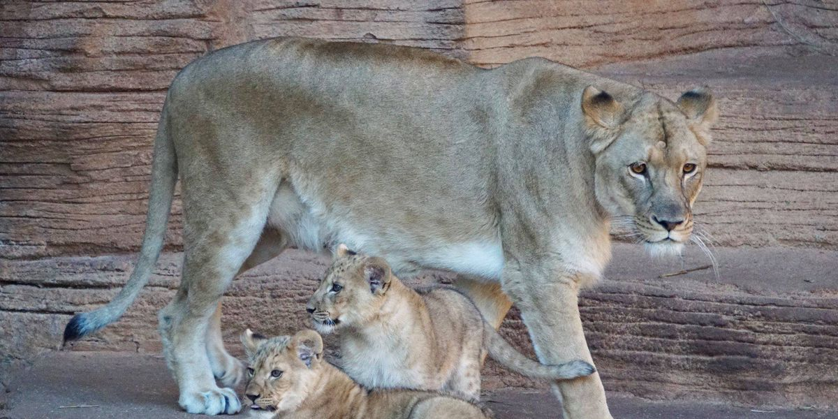 QUEEN OF THE JUNGLE: Both lion litters born at Riverbanks Zoo in 2018 were females