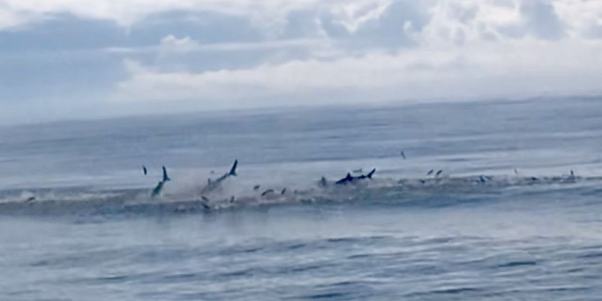 VIDEO: Sharks spotted feeding along stretch of beach in S.C.