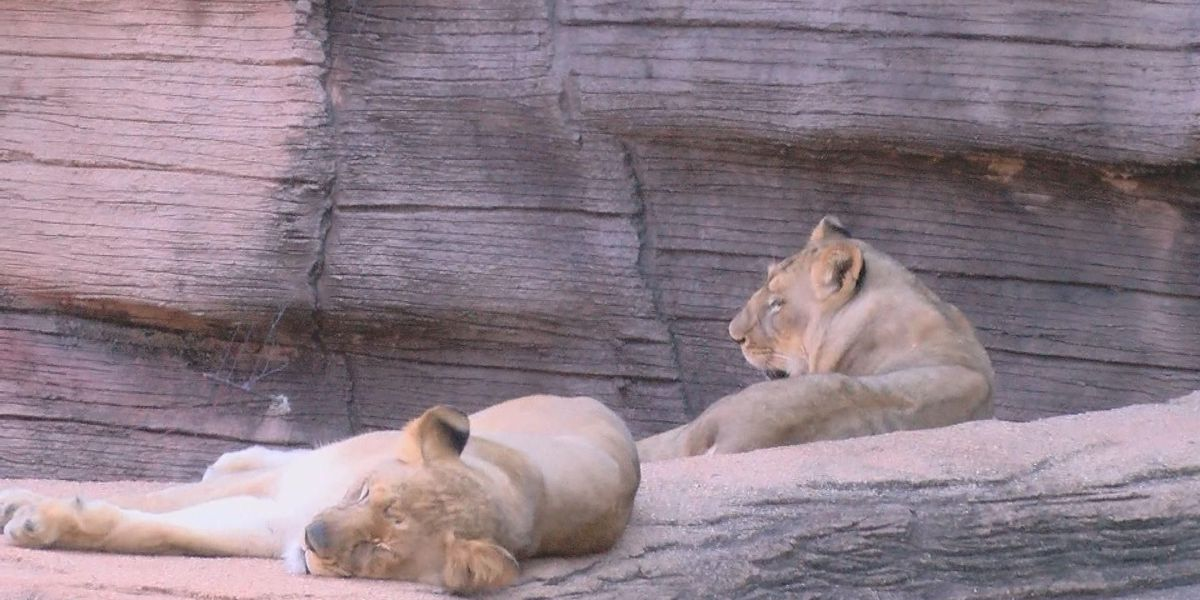 Sister, Sister: Female lions react differently to Riverbanks male lion Zuri