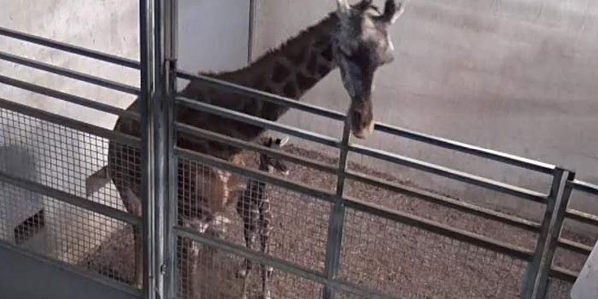 Greenville Zoo to give new giraffe calf naming rights to highest bidder