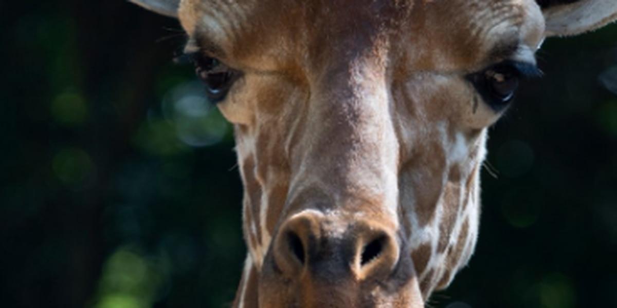 8-year-old giraffe born at Riverbanks Zoo dies in accident at Zoo Atlanta