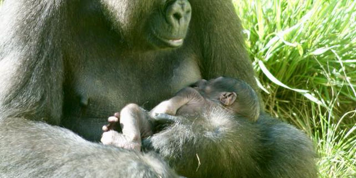 Infant gorilla adventures outside for the first time, guests able to view