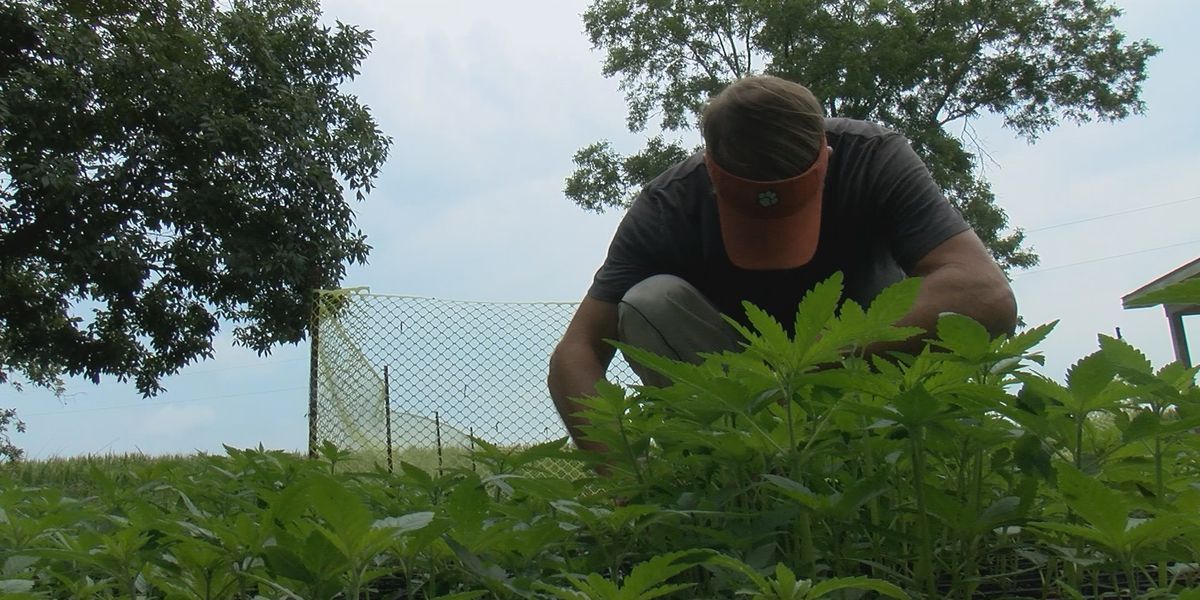 SC hemp farmers learn valuable lessons after first year of program