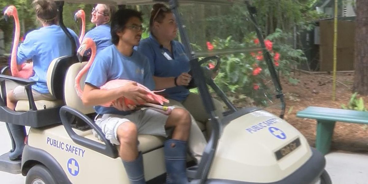 Follow-the-leader, golf carts used to move flamingos from outdoor exhibits