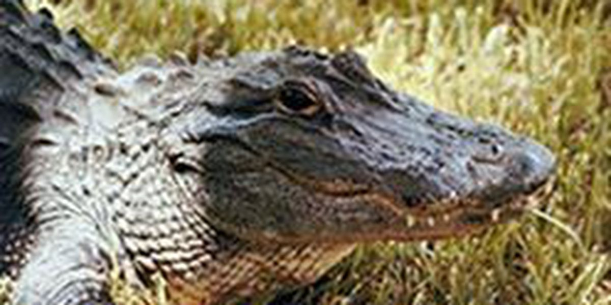 SC Alligator hunting season applications open up on May 1