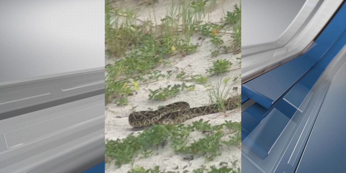 VIDEO: Large rattlesnake in the dunes on Tybee Island