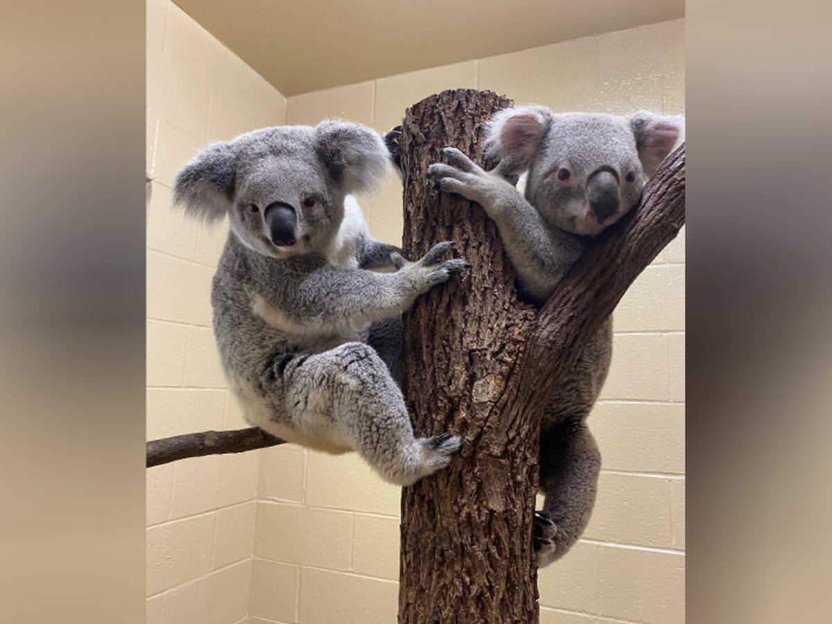 'It's on their timeline': Riverbanks koala keepers optimistic about breeding possibility for koala pair