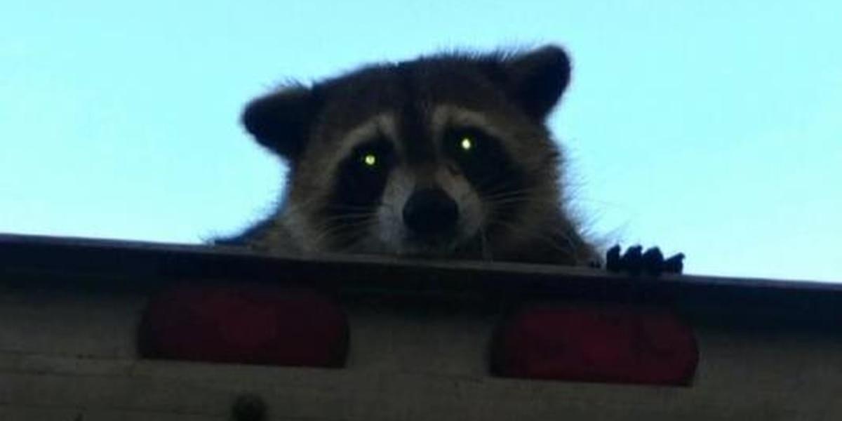 DHEC reports rabid raccoon in Camden