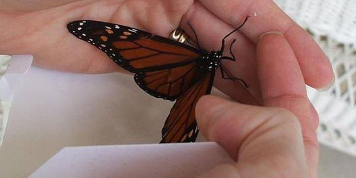 Talk of the Town: The whispering signs of a butterfly
