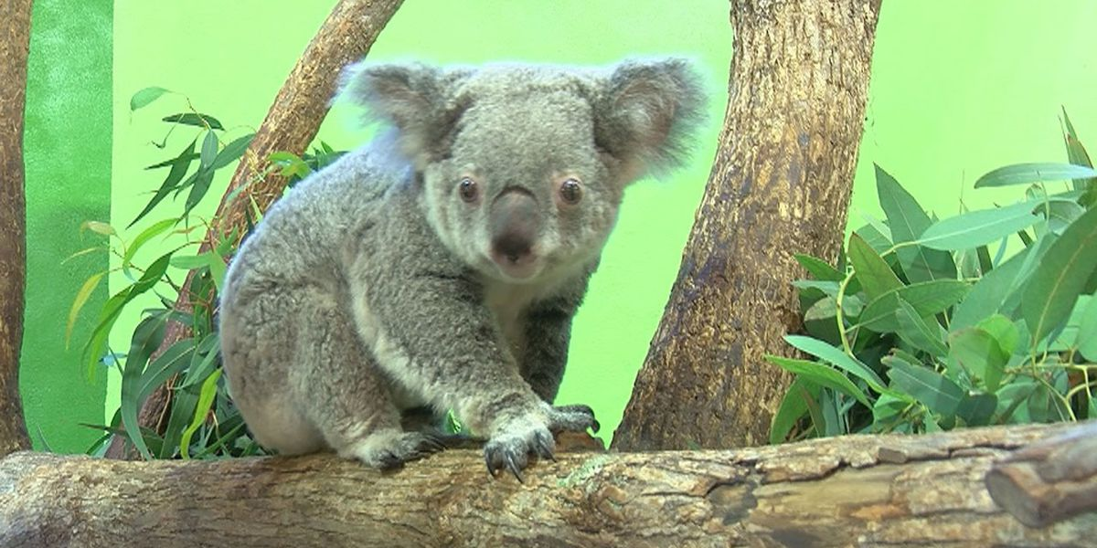 Koala breeding programs like Riverbanks Zoo's could become crucial in wake of Australian fires