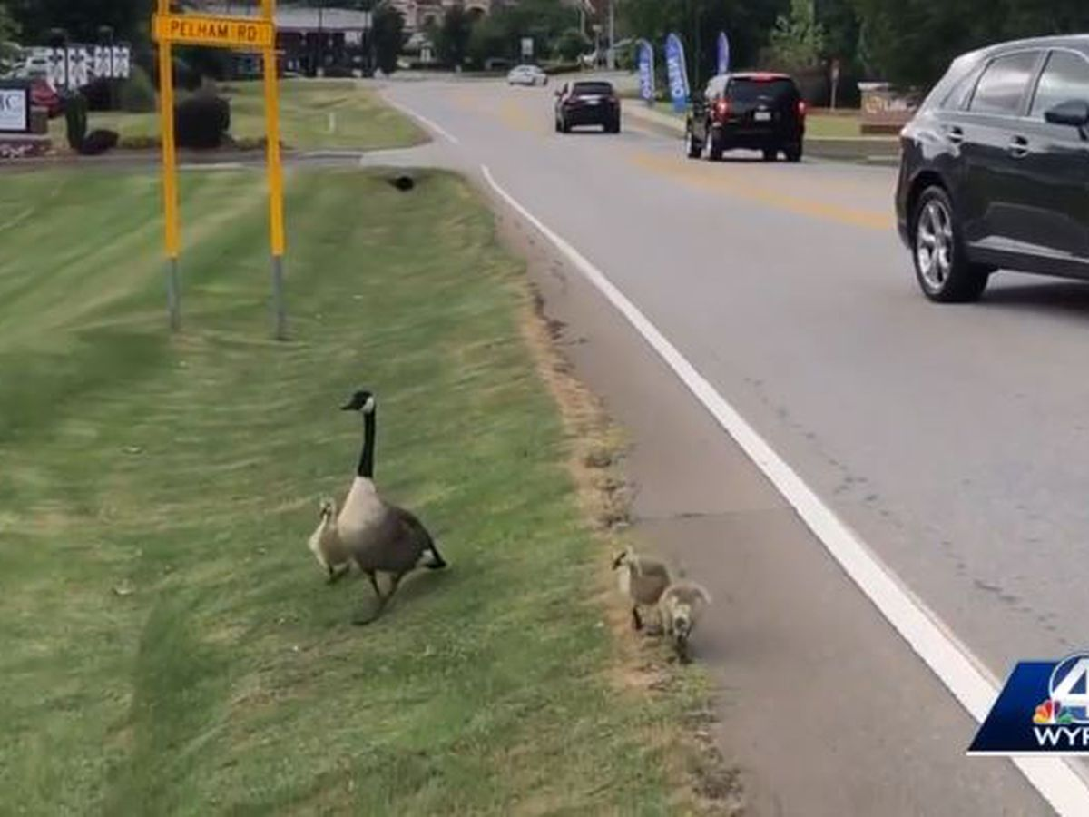 Impatient driver hits, kills geese crossing SC street, witness says