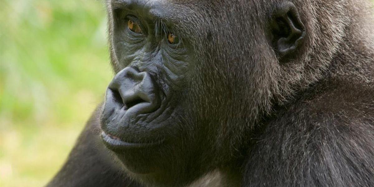 Riverbanks Zoo's first baby gorilla passes away