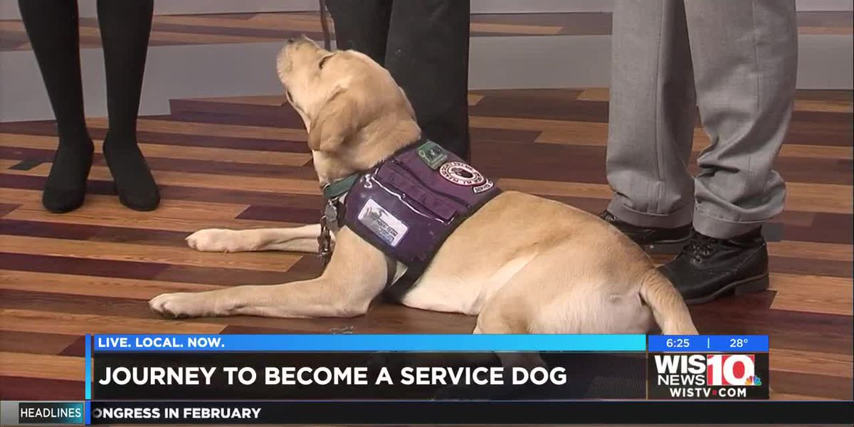 Winston's journey to becoming a service dog