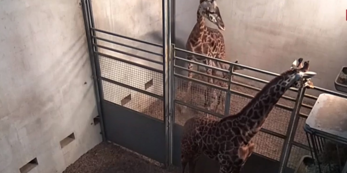 Autumn the giraffe welcomes new calf at the Greenville Zoo