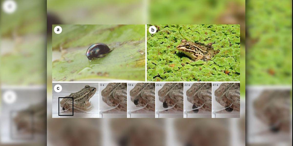 Water beetles stage 'back door' escape from predators