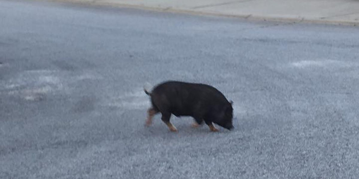 UPDATE: Beloved pig of Lexington Co. neighborhood gets new home