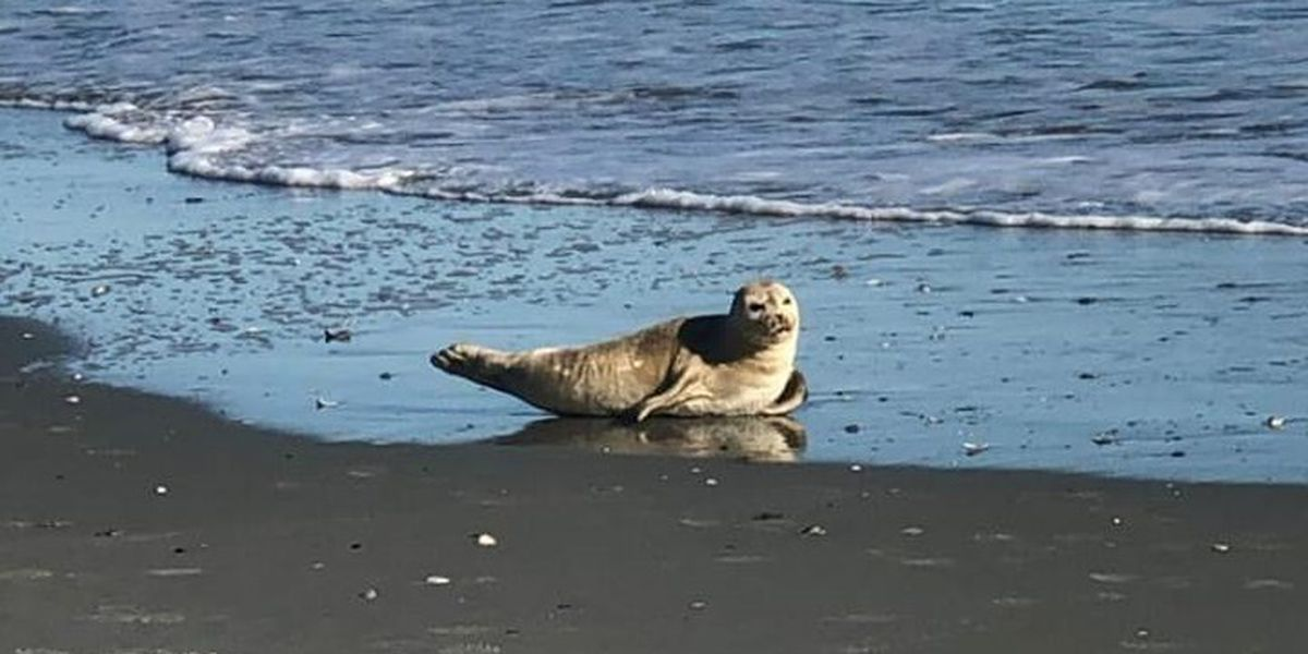 Seal washes ashore in Myrtle Beach for second time in three days