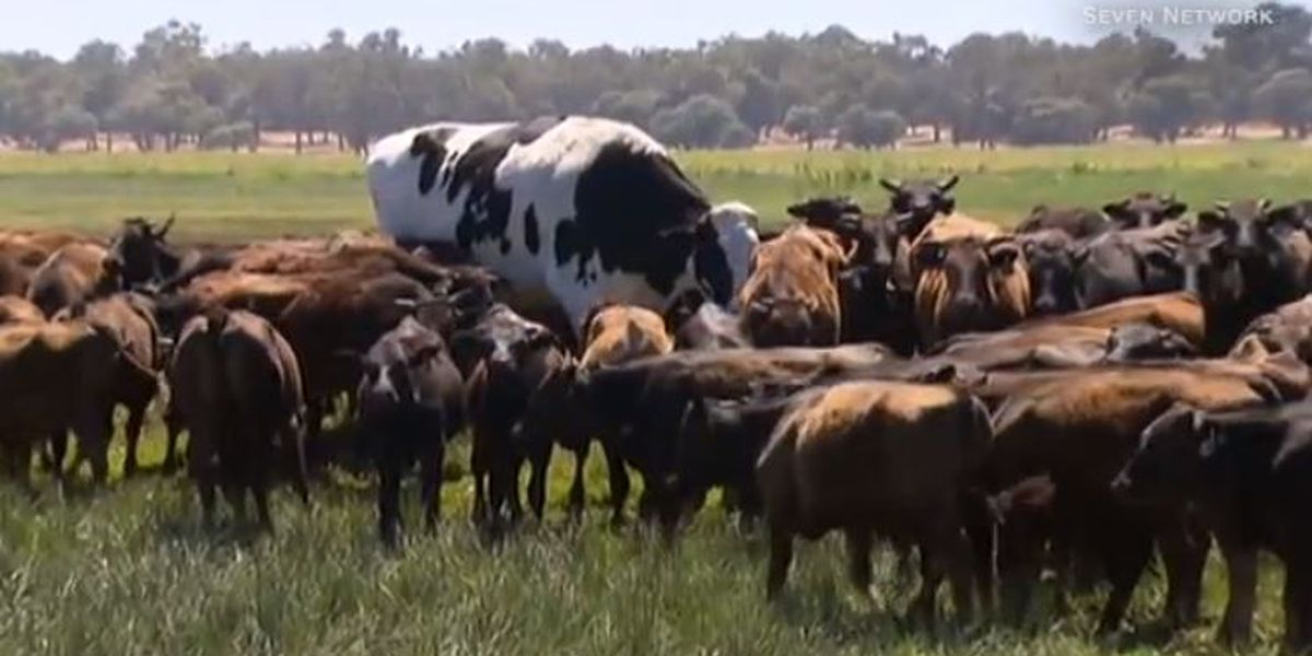 This Giant Australian Steer Stands Head And Shoulders Above The Rest