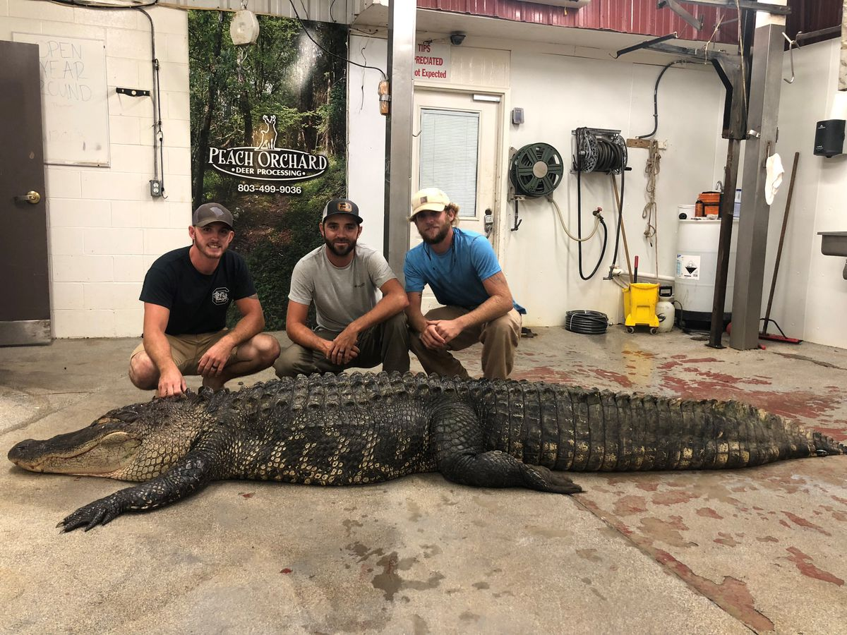 CHECK THIS OUT: 12-foot alligator caught at South Carolina's Lake Marion over the weekend