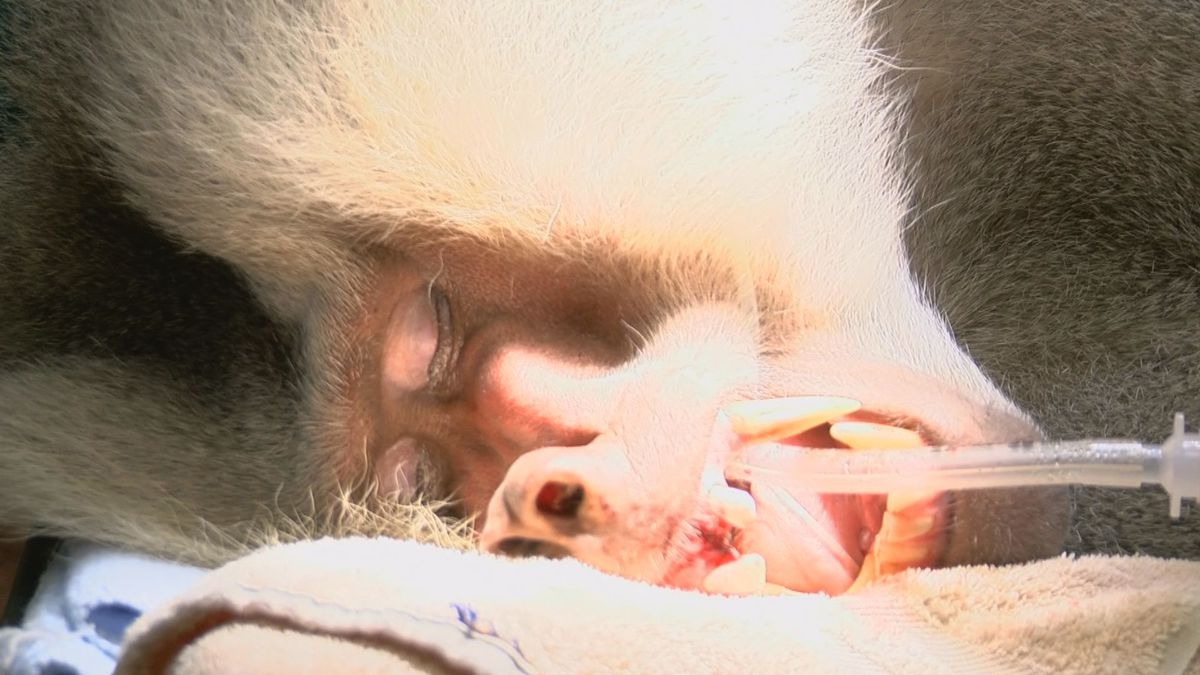 Beyond the Banks: Riverbanks Zoo baboons undergo root canals