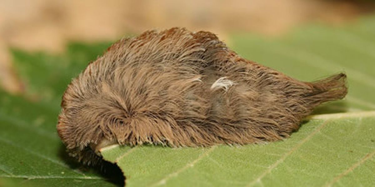 Fluffy caterpillar one of the most venomous in the United States