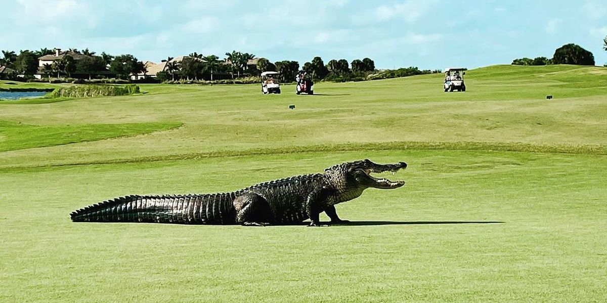 S.C. Dept. of Natural Resources investigating harassment of alligator at golf resort