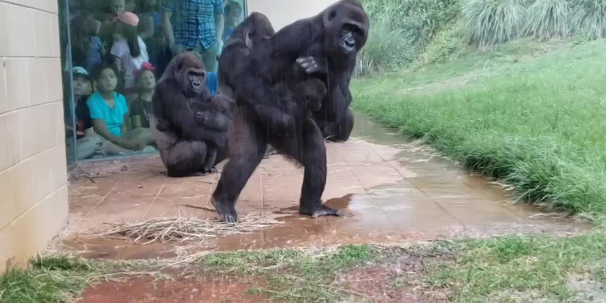 WATCH: Gorillas at this SC zoo show us that they don't like being caught in the rain either