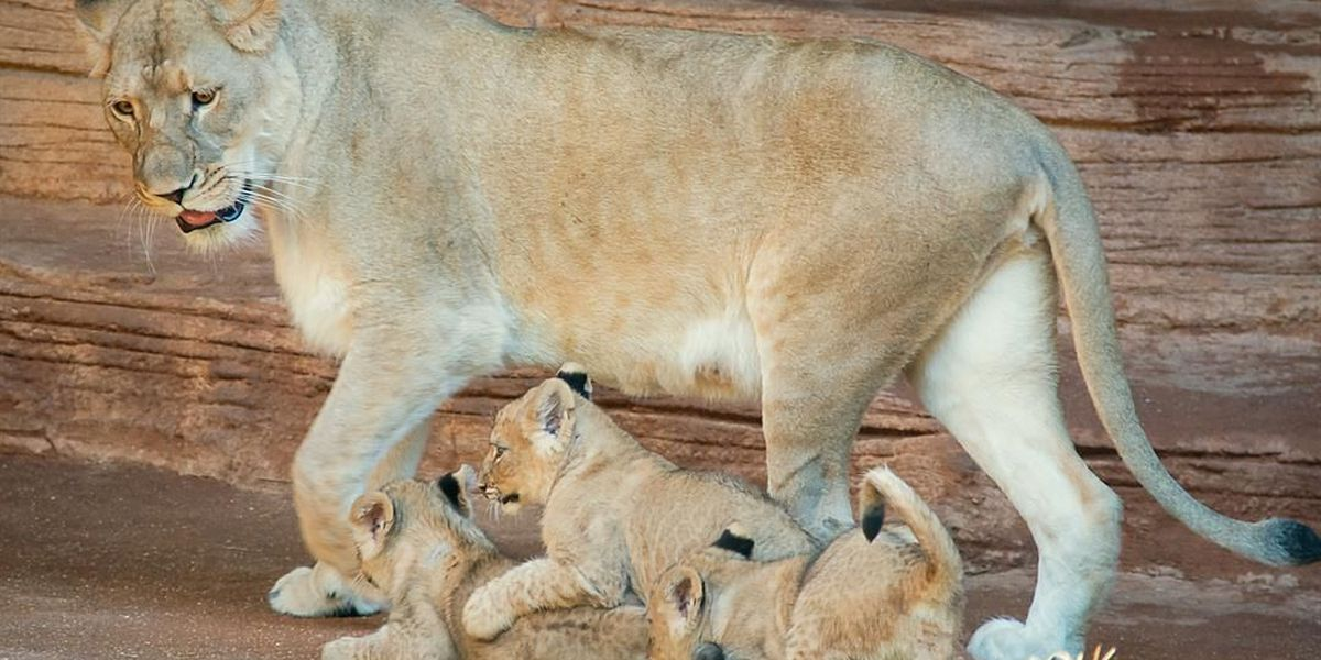 The lion cubs three: Meet the newest sisters and princesses of the jungle at Riverbanks Zoo and Garden