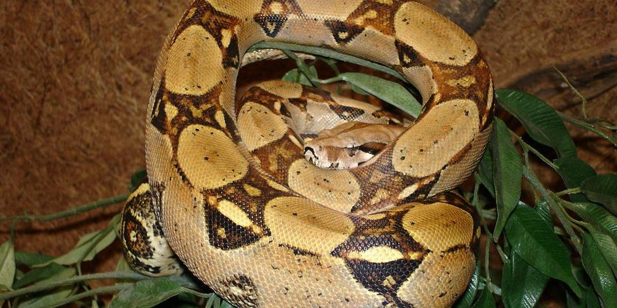 Congaree National Park rangers continue to investigate rumors of boa constrictor released at park