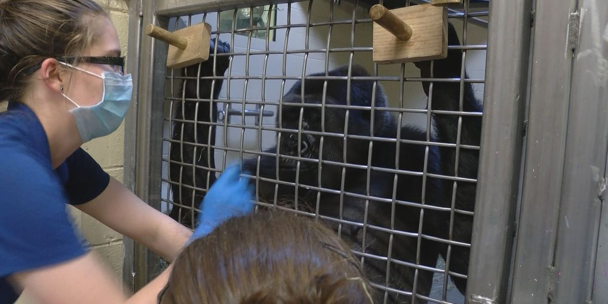 Baby gorilla watch is underway at Riverbanks Zoo!