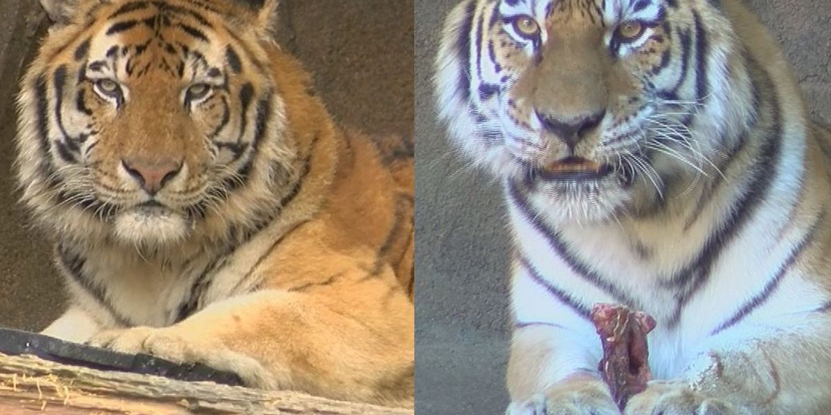 BEYOND THE BANKS: Trying for tiger cubs - Riverbanks Zoo's tigers undergo fertility exams