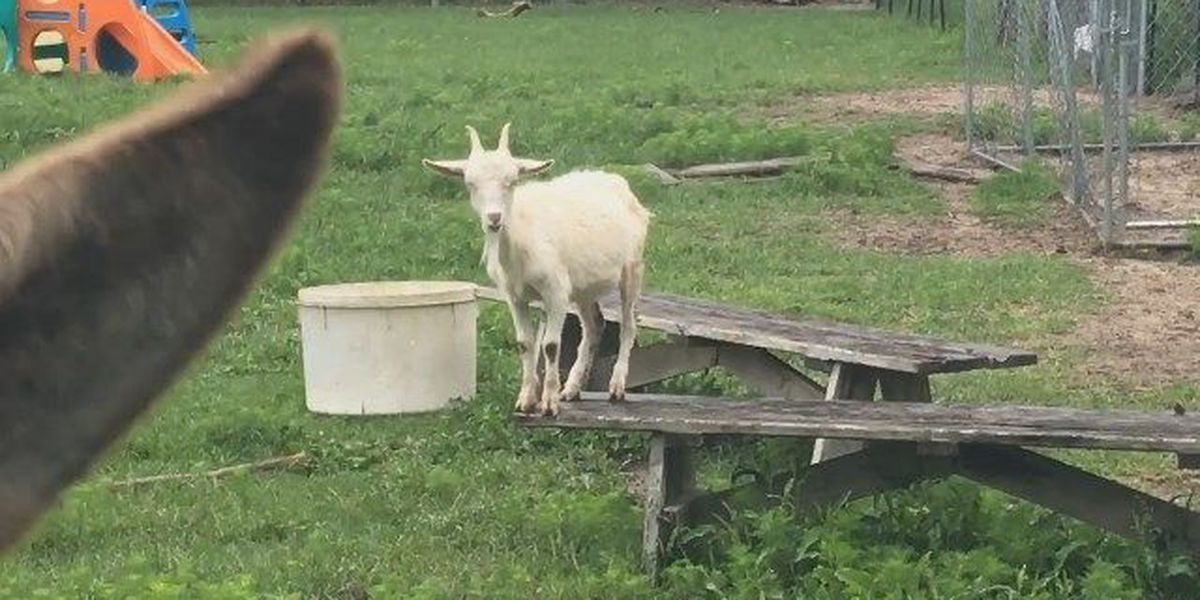 Who stole this Midlands woman's 15 pygmy goats? Deputies on the case