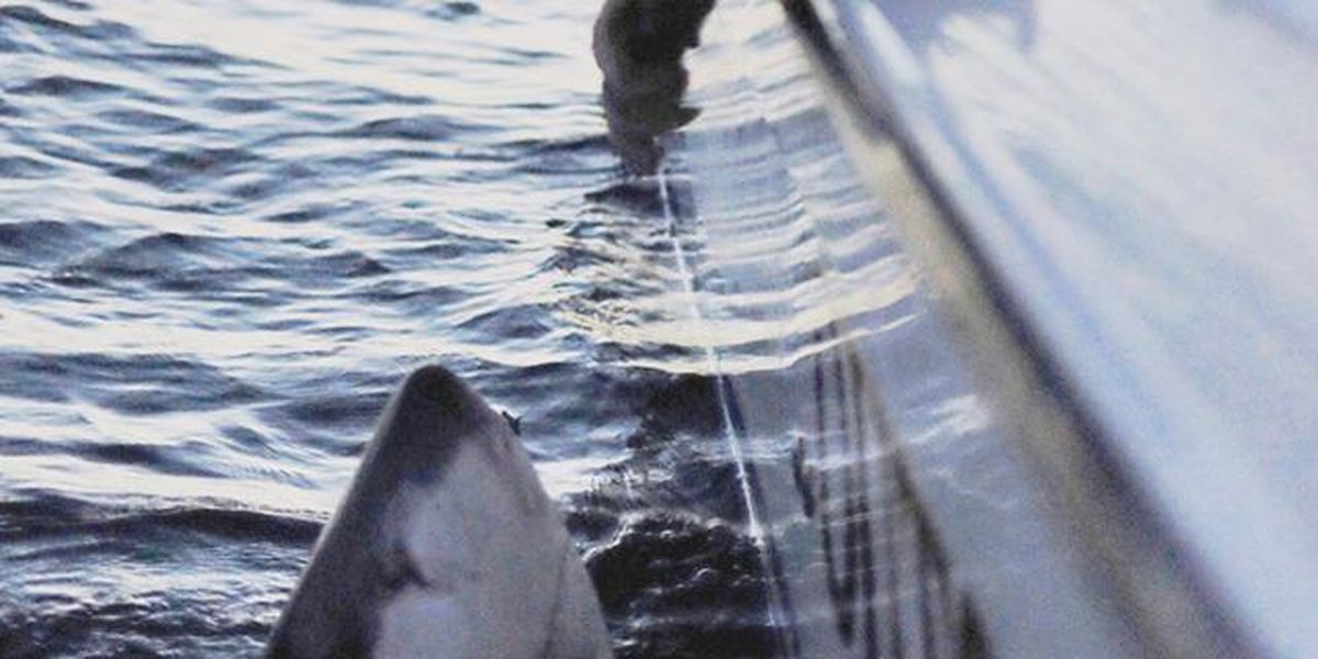 2,500 lb great white shark caught off Lowcountry coast