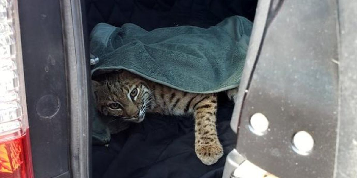 Colorado mom puts injured bobcat in car next to her child