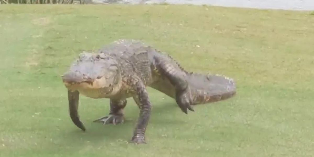 Gator crosses fairway at Zurich Classic in New Orleans