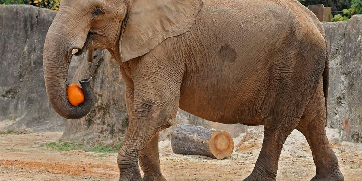 Zoo: Beloved African elephant Penny euthanized after fall