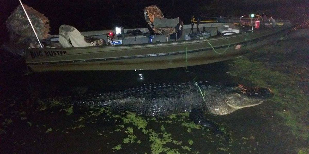 Duo nabs 11 foot alligator in Clarendon County