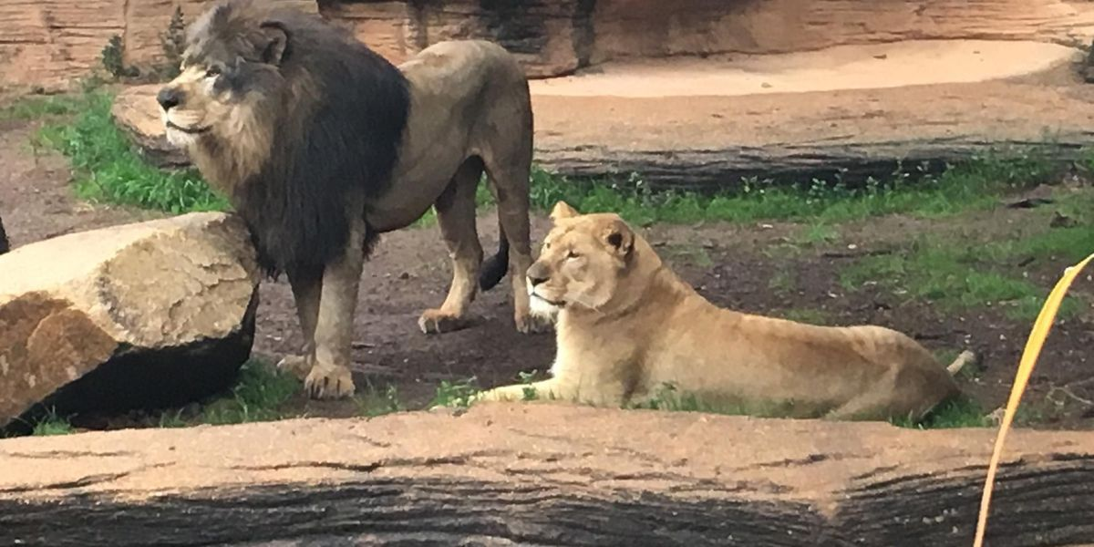 There are more expecting mothers at Riverbanks Zoo - this time in the lion's den