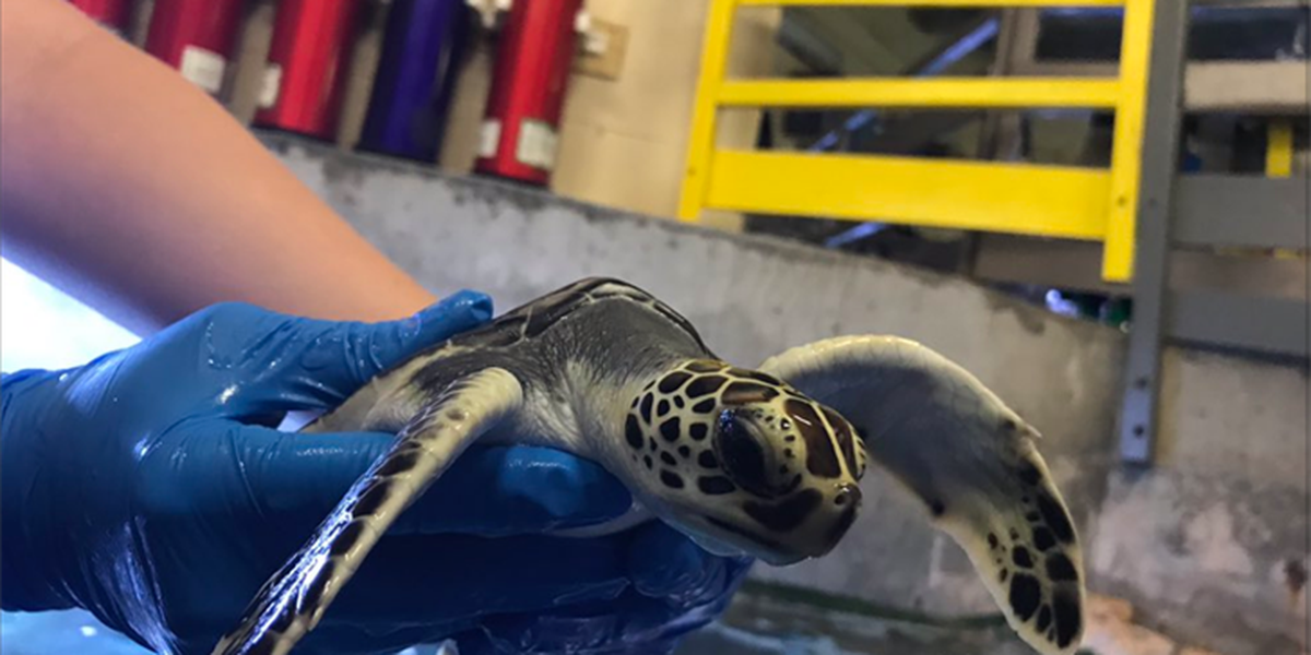 Rescued sea turtle on display at Riverbanks Zoo in time for World Oceans Day