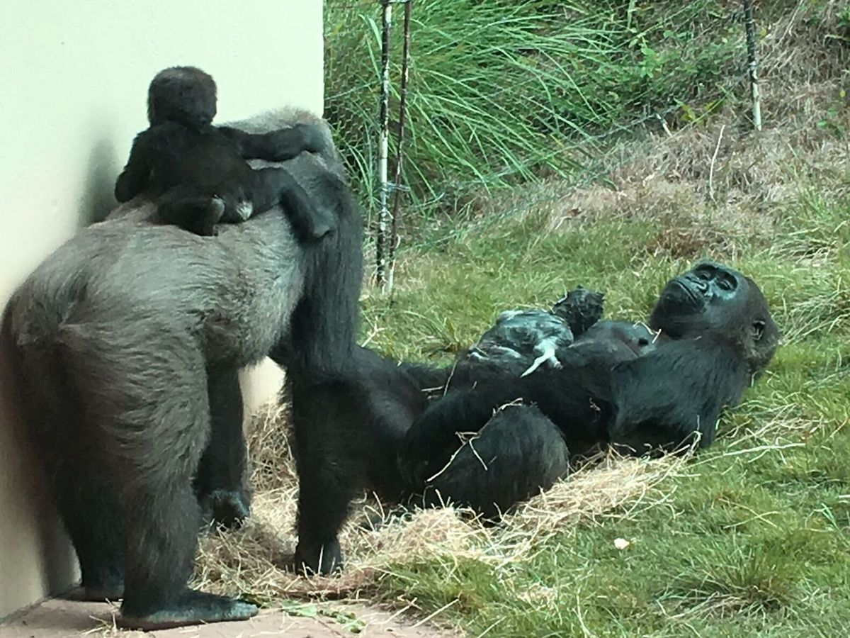 Hello, baby! Riverbanks Zoo welcomes newest addition to Gorilla Base Camp