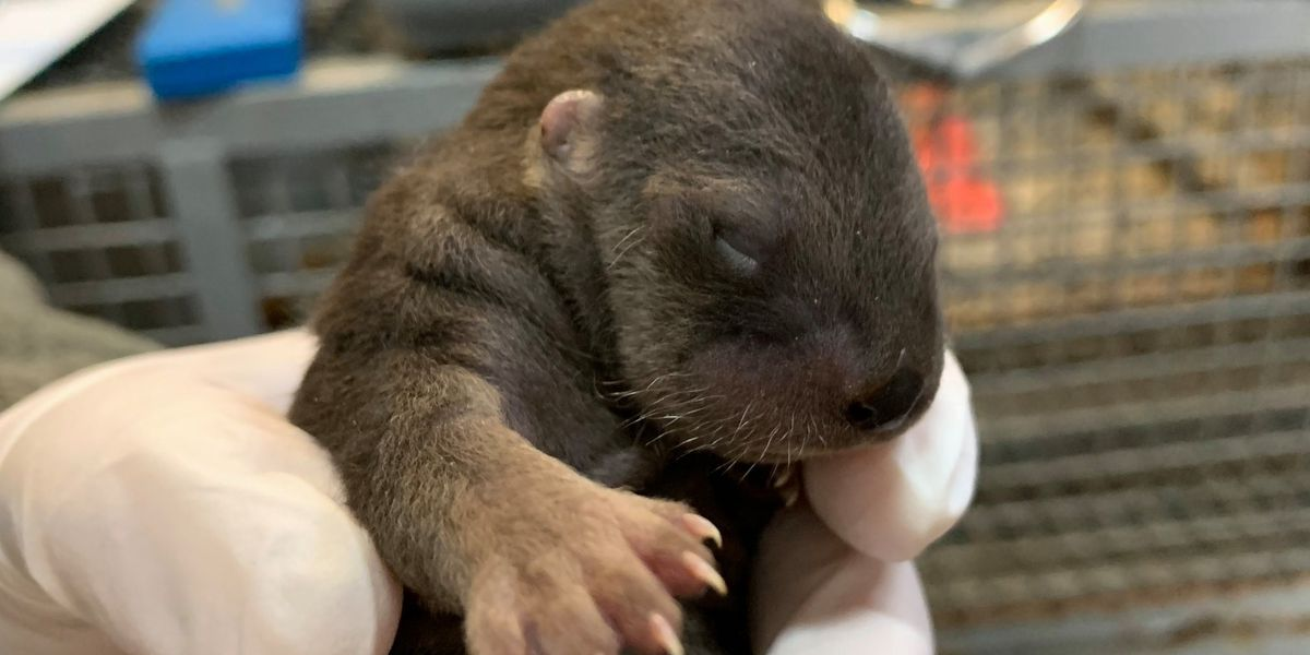 Brookgreen Gardens Lowcountry Zoo welcomes 4 baby otters