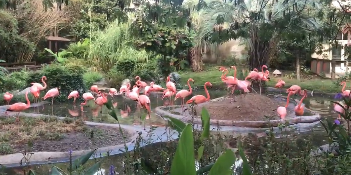 Florence forces flamboyance of flamingos inside at Riverbanks Zoo