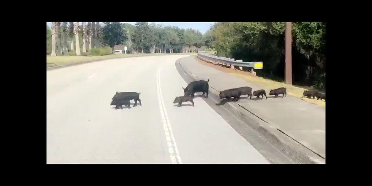 VIDEO: Huge group of pigs cross the road in Lakewood Ranch