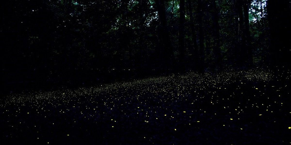 Enter lottery to see synchronous fireflies at Congaree National Park