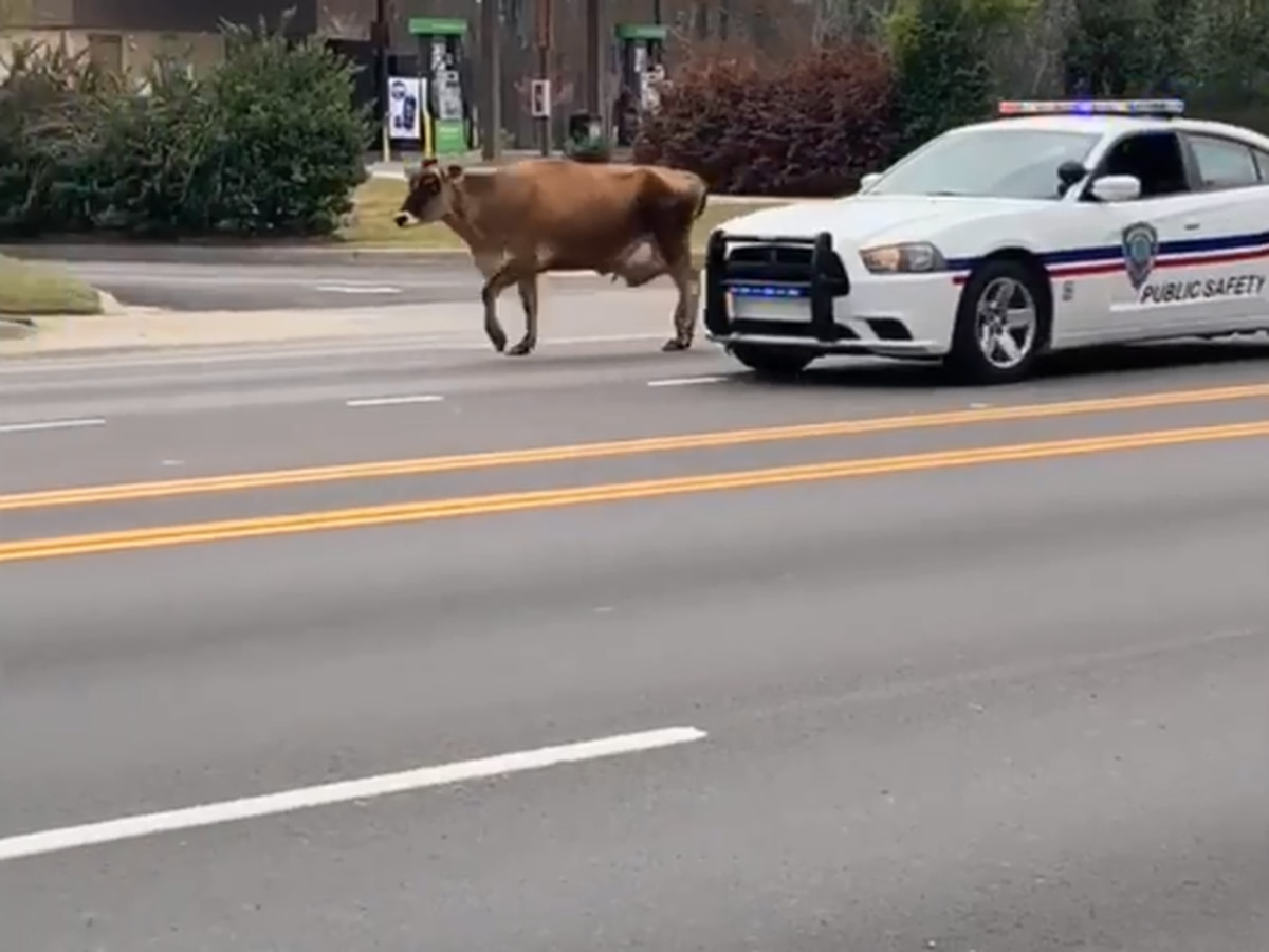 What's the MOOOOVE? Cattle holds up traffic on SC roadway