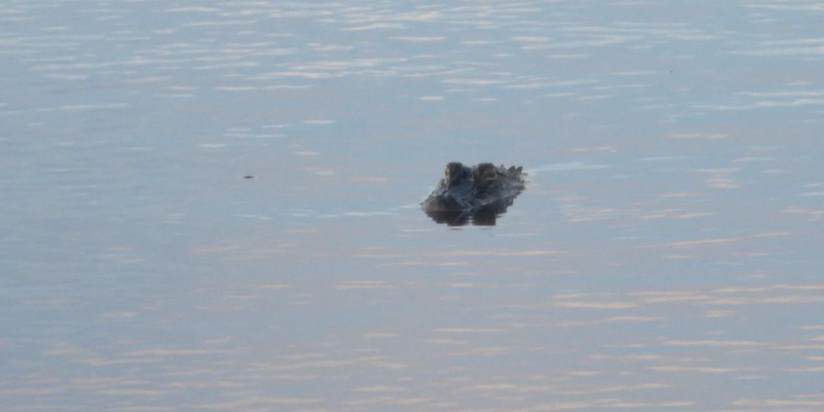 South Carolina alligator season underway