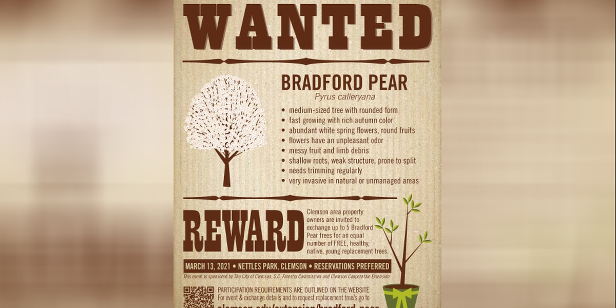 Get paid to cut down your Bradford Pear trees in SC