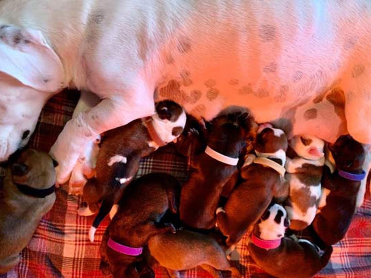 Foster dog and 11 puppies saved on Thanksgiving Day