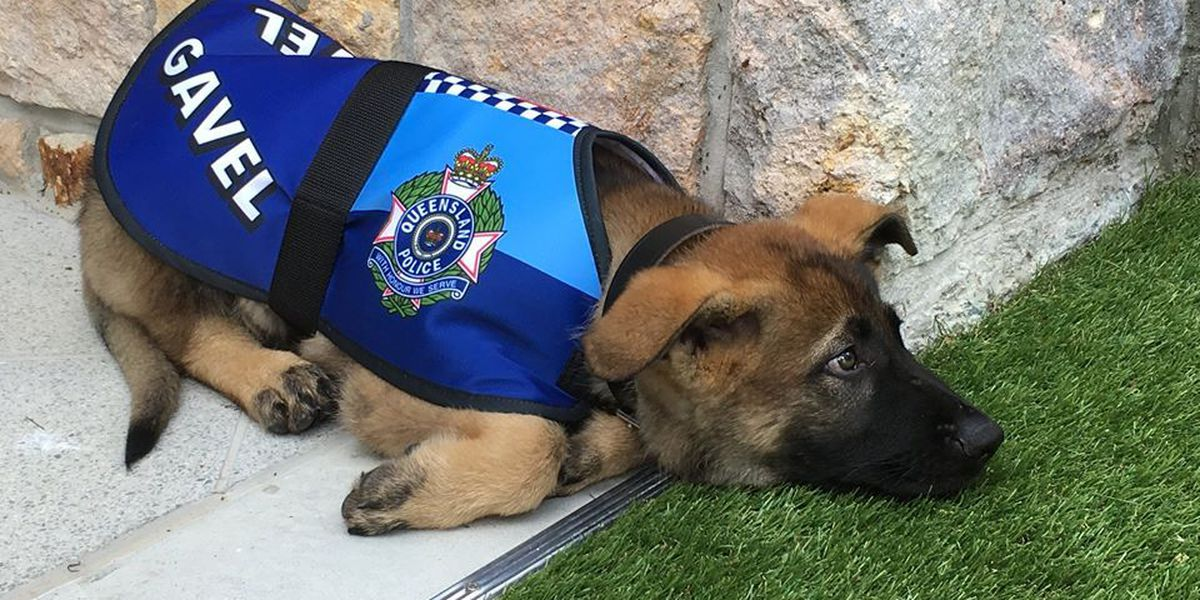 Not bad to the bone: Failed police dog fired for being too nice gets royal gig